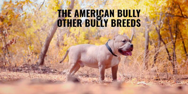 American Bully versus Other Bully Breeds