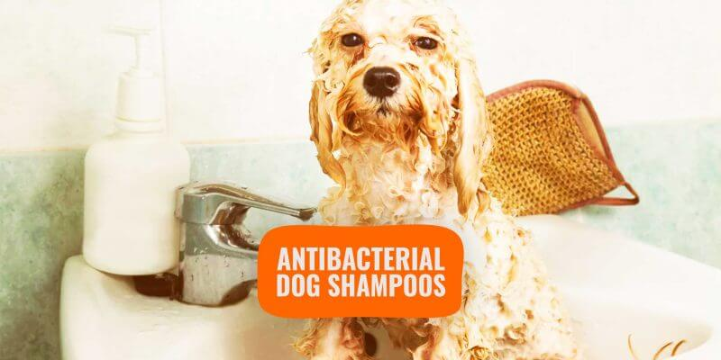 Antibacterial Shampoos for Dogs – Reviews, Buying Guide & FAQ