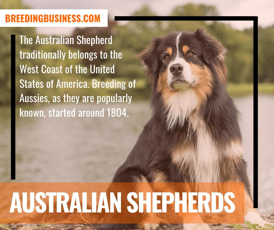 australian shepherds (american dog breed)