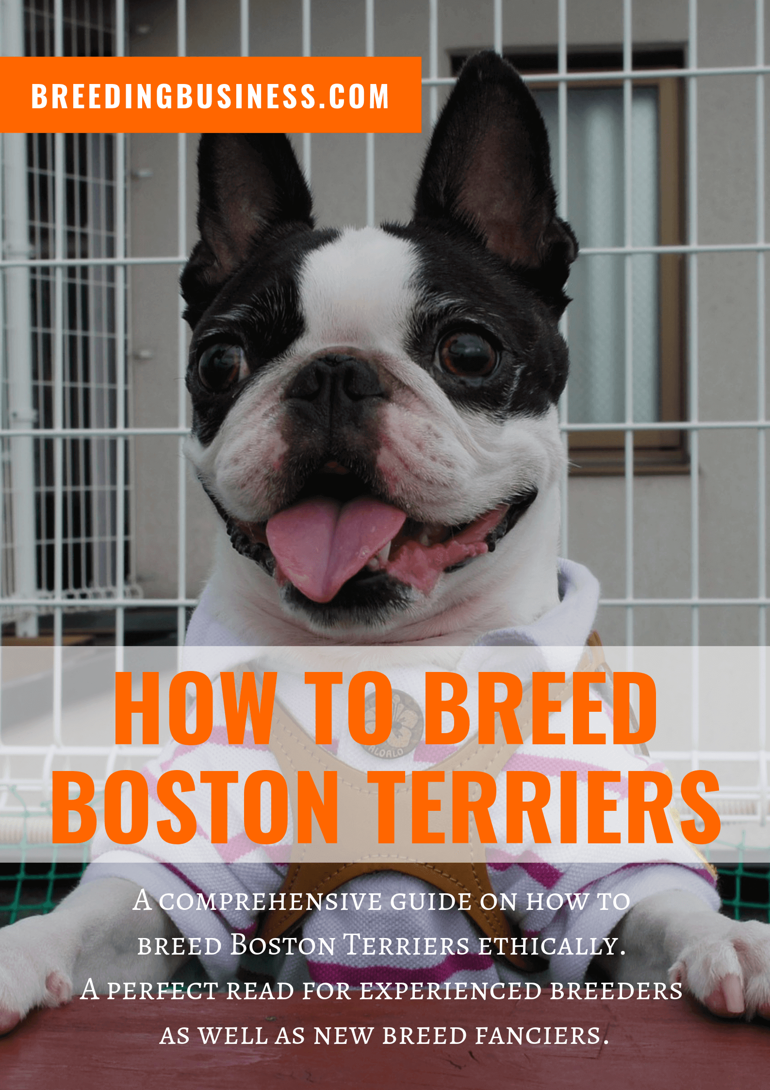 breeding Boston Terriers