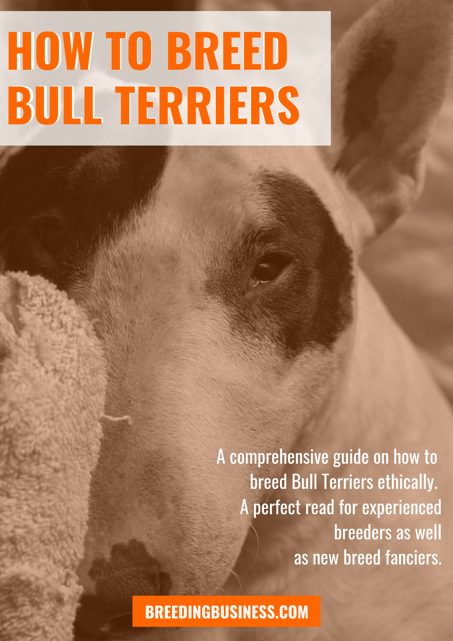 breeding Bull Terriers