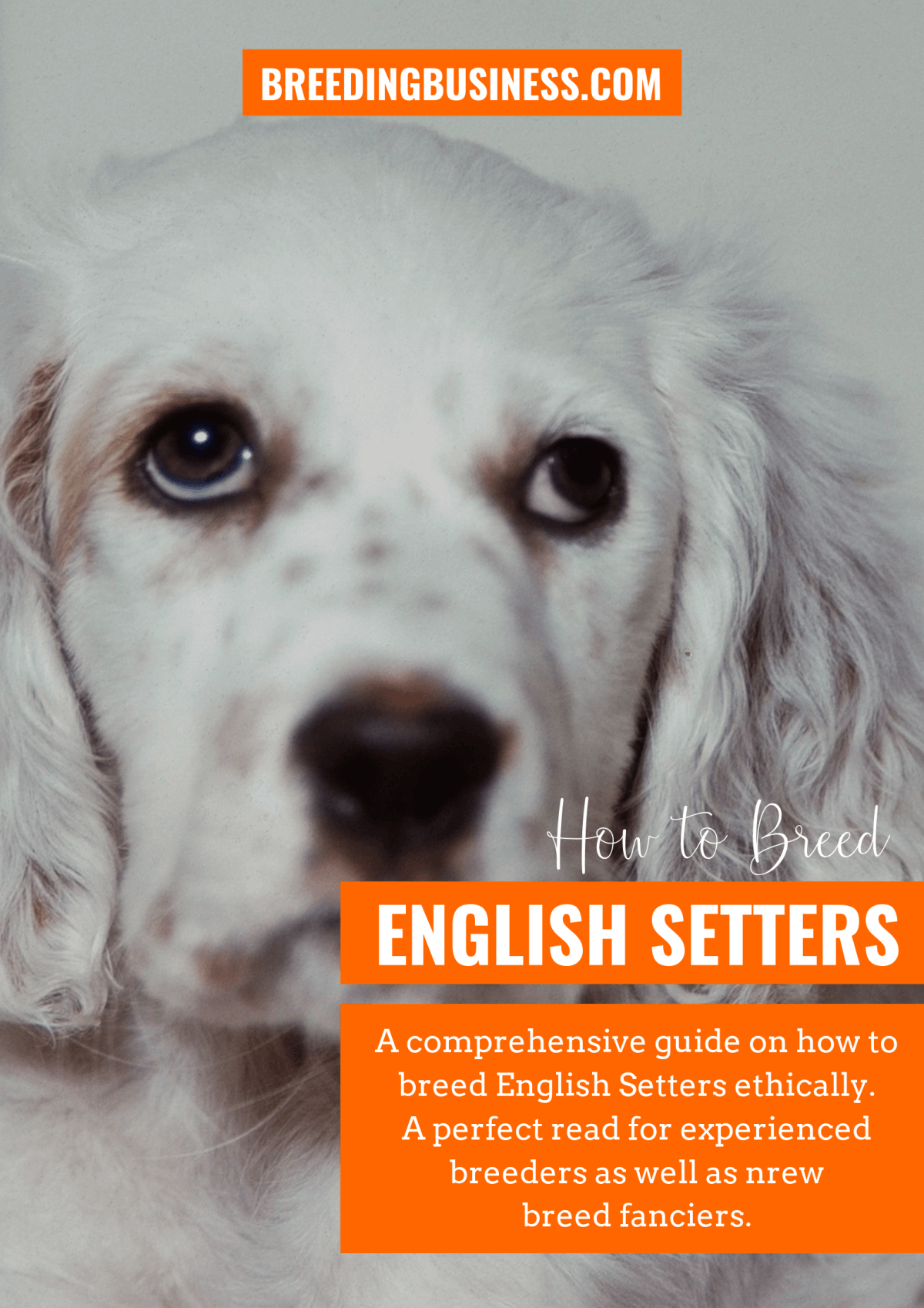 breeding English Setters