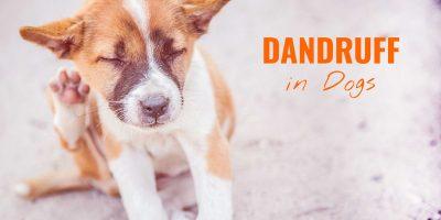 Dog Dandruff – Causes, Solutions, Prevention & Full Guide