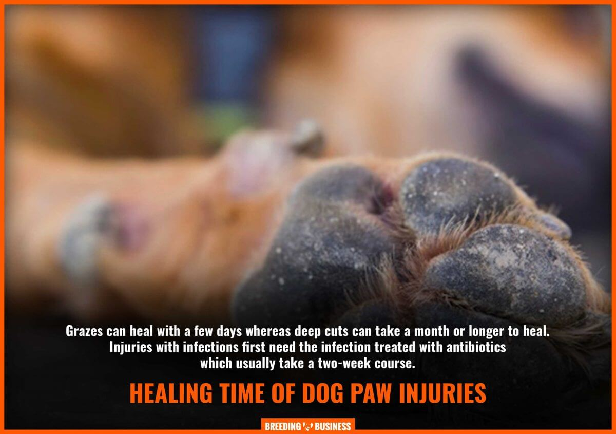 healing and treatment duration of an injured dog paw