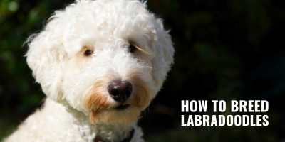 how to breed labradoodles