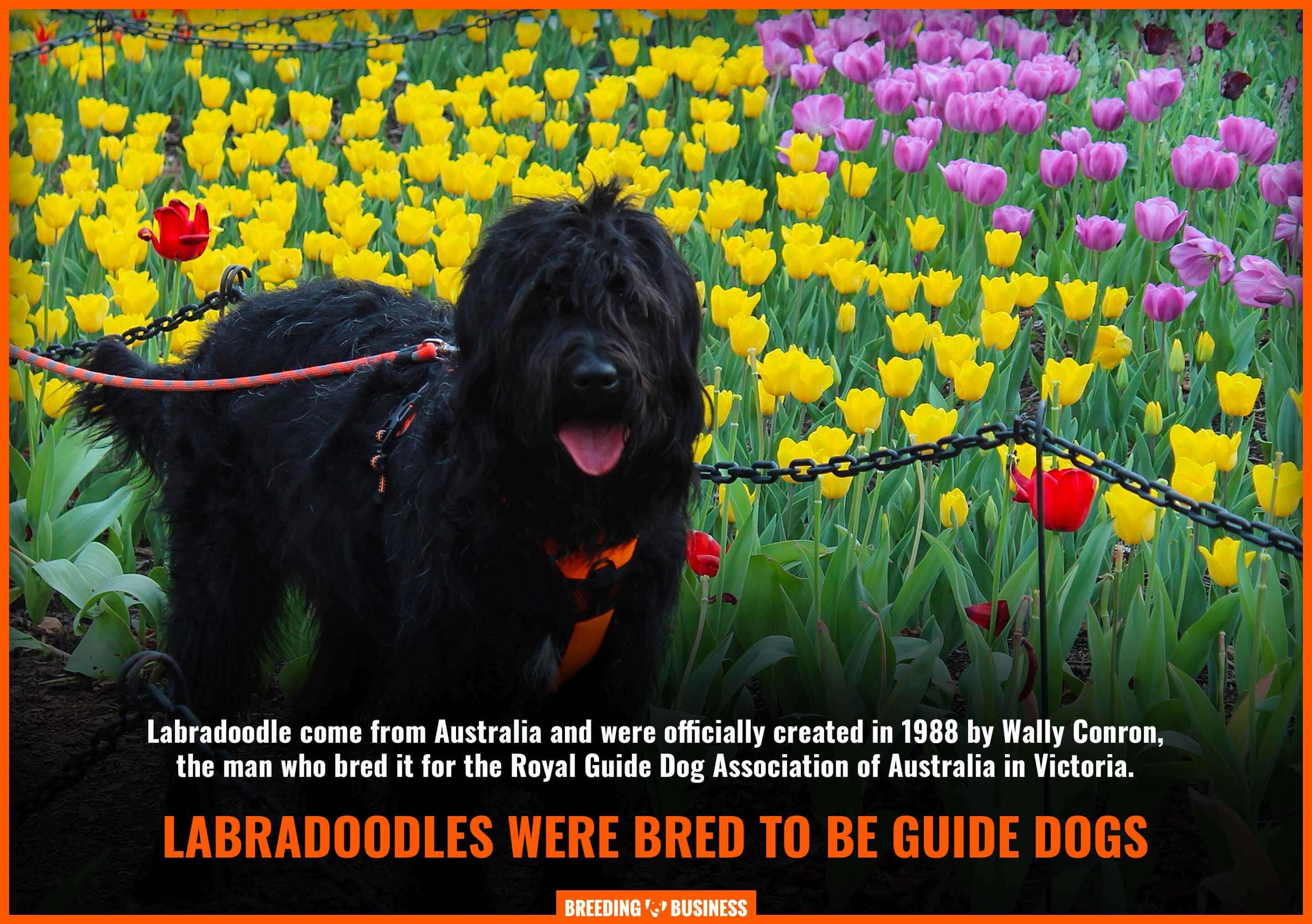 labradoodles as guide dogs