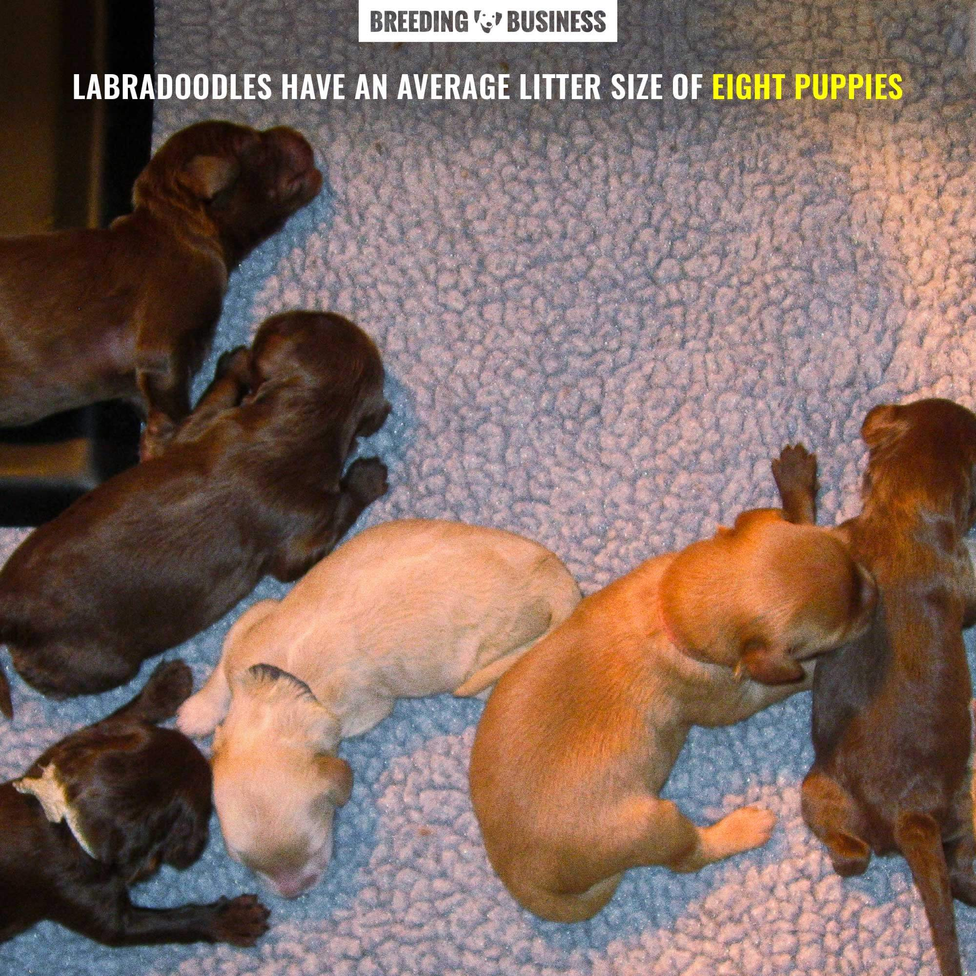 labradoodle litter puppy count