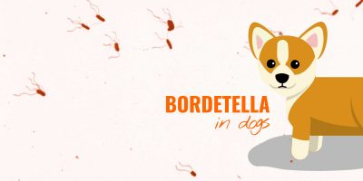 bordetalla in dogs