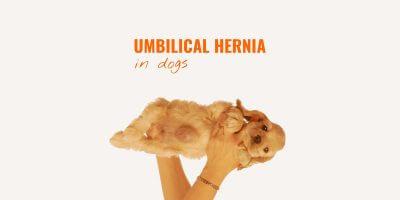 Umbilical Hernia in Dogs – Definition, Symptoms, Treatment & FAQ