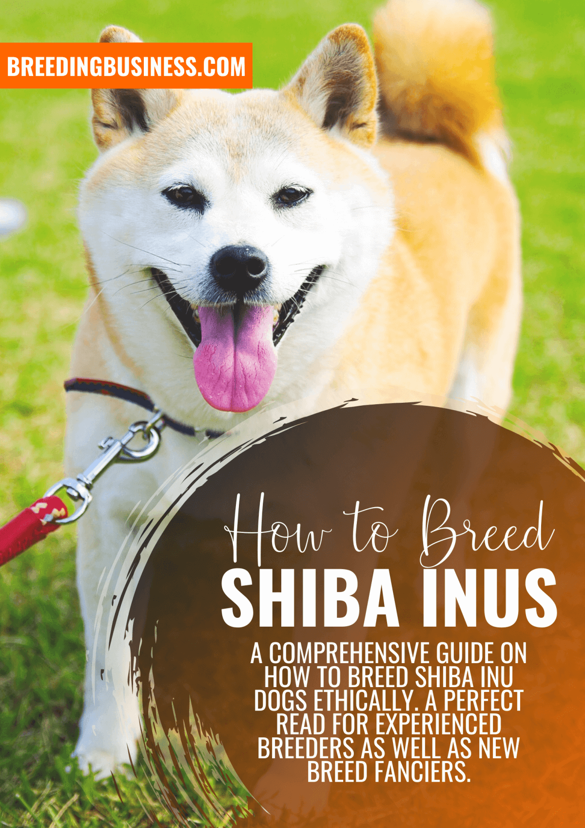 how to breed shiba inus