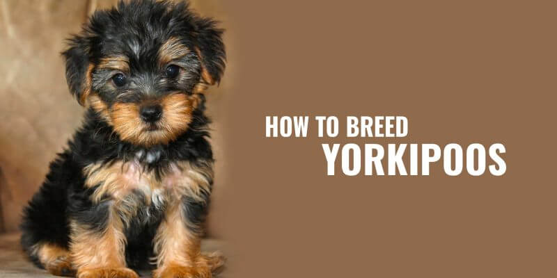 How To Breed Yorkipoos – Half Yorkshire Terrier, Half Poodle!