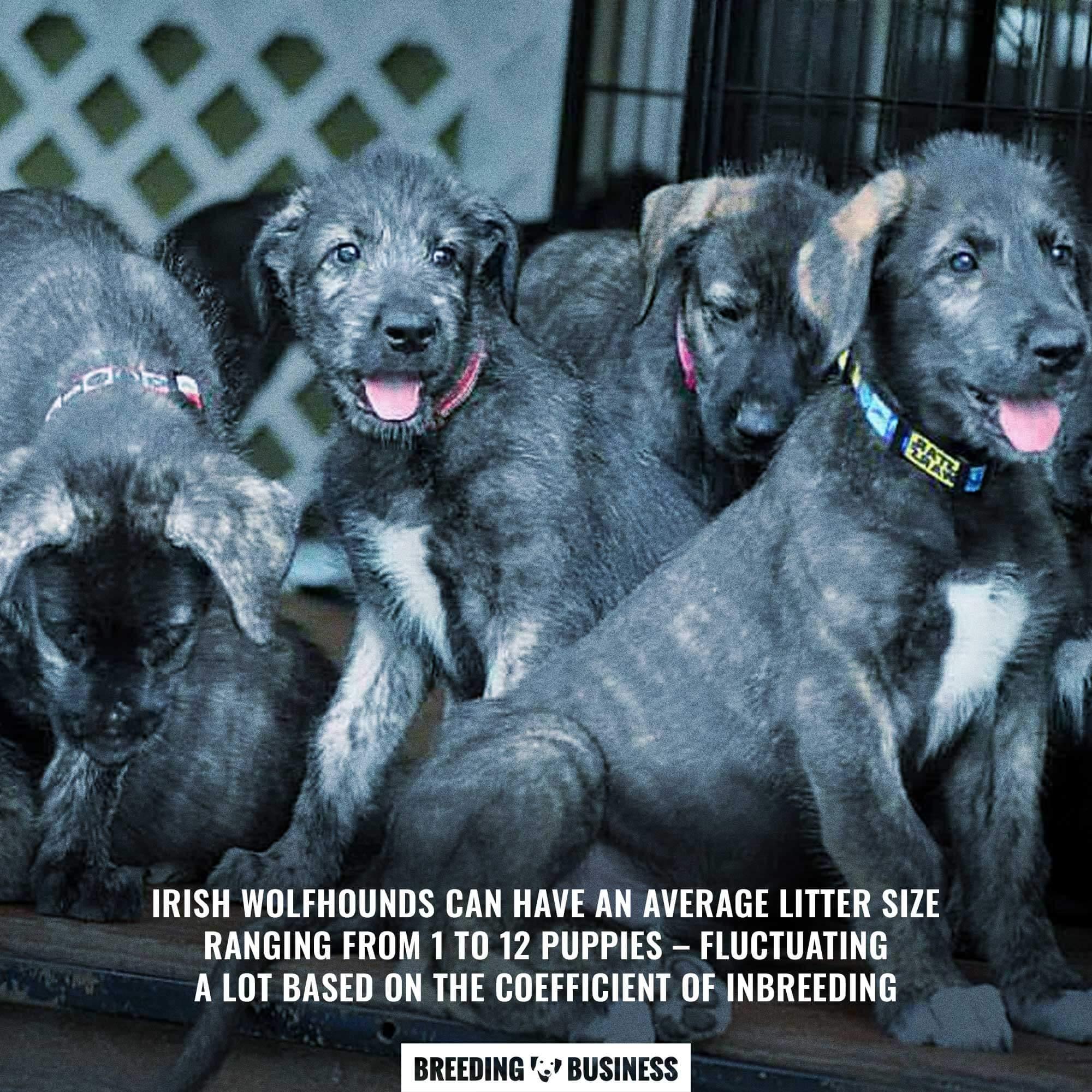 irish wolfhound's puppy litter size