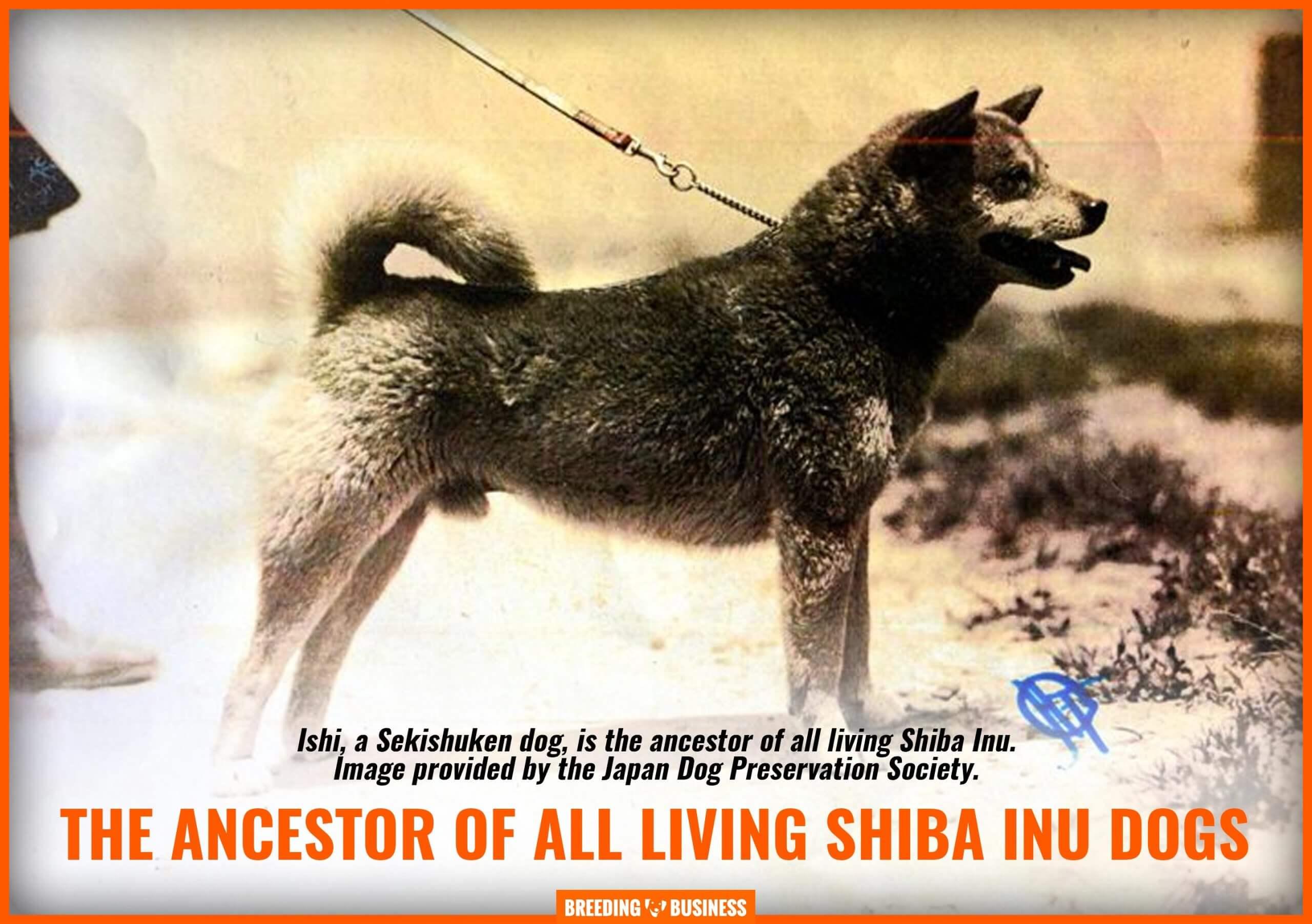 ishi sekishuken (bloodline of shiba inu)