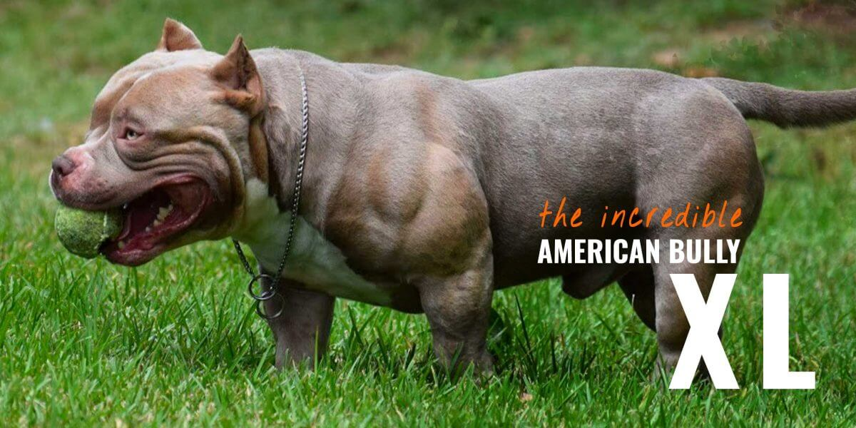 American Bully XL – Standard, Regimen, Bloodlines ...