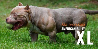 american bully xl