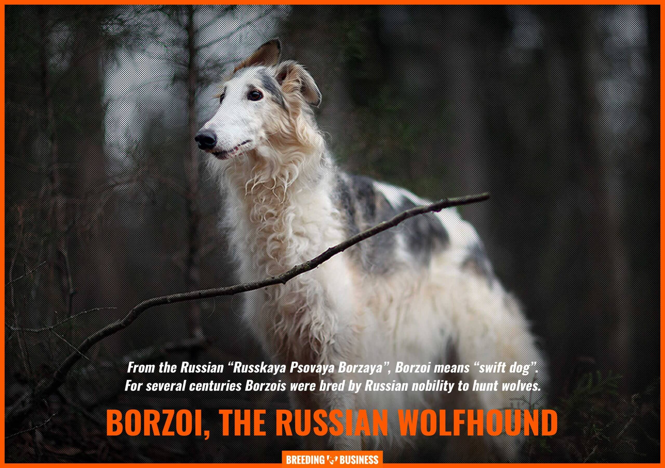 borzoi, a russian dog breed