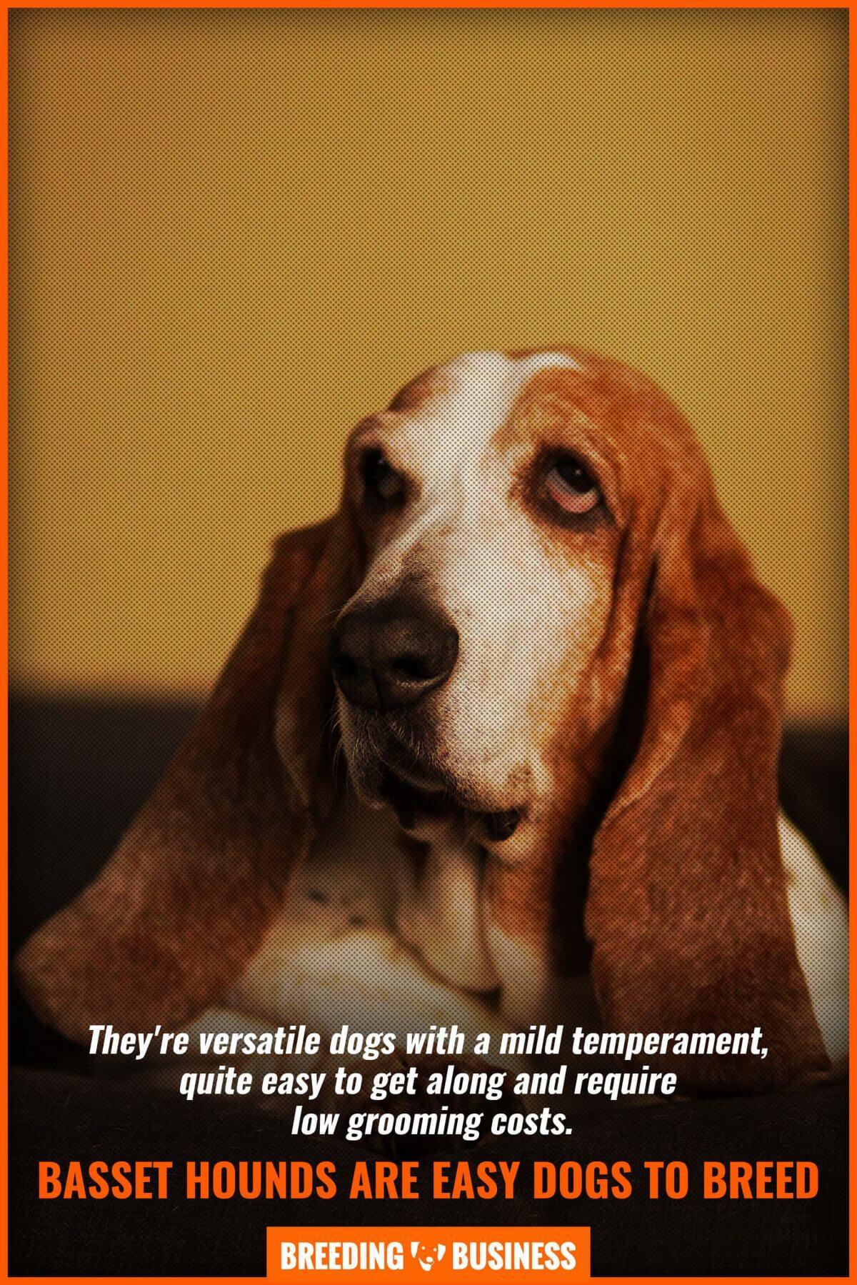 breeding basset hounds