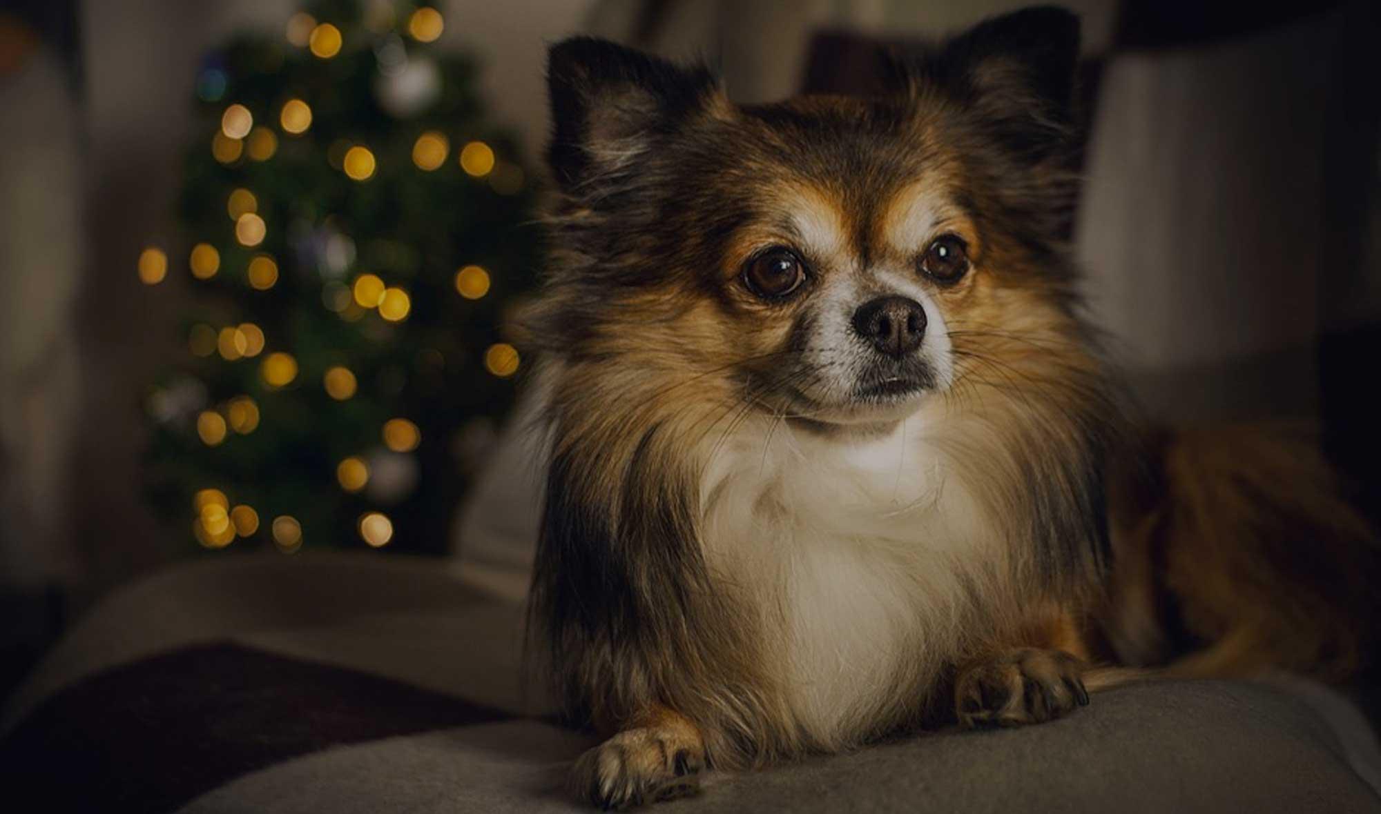 120+ Chihuahua Dog Names: Ideal Chihuahua Puppy Name Ideas!