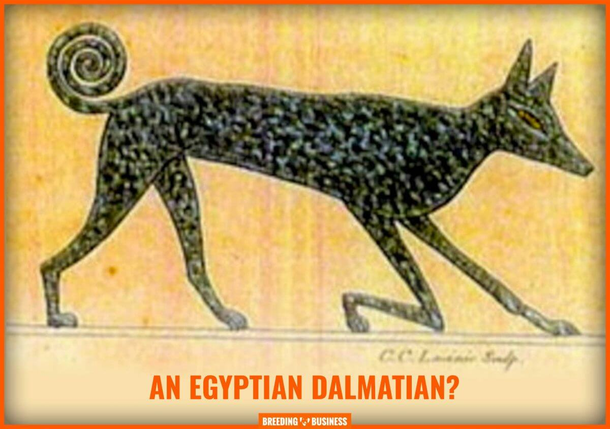egyptian dalmatian