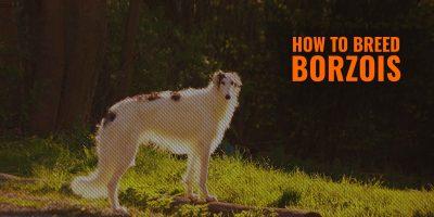 How to Breed Borzois - Health Concerns, Clientele, Origin, FAQ