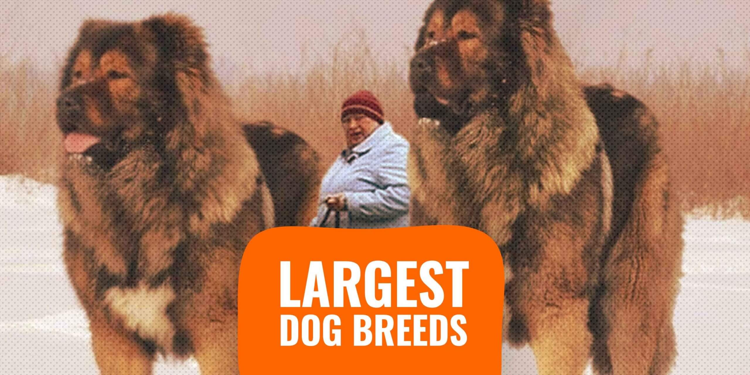 20 Largest Dog Breeds Sizes Rankings