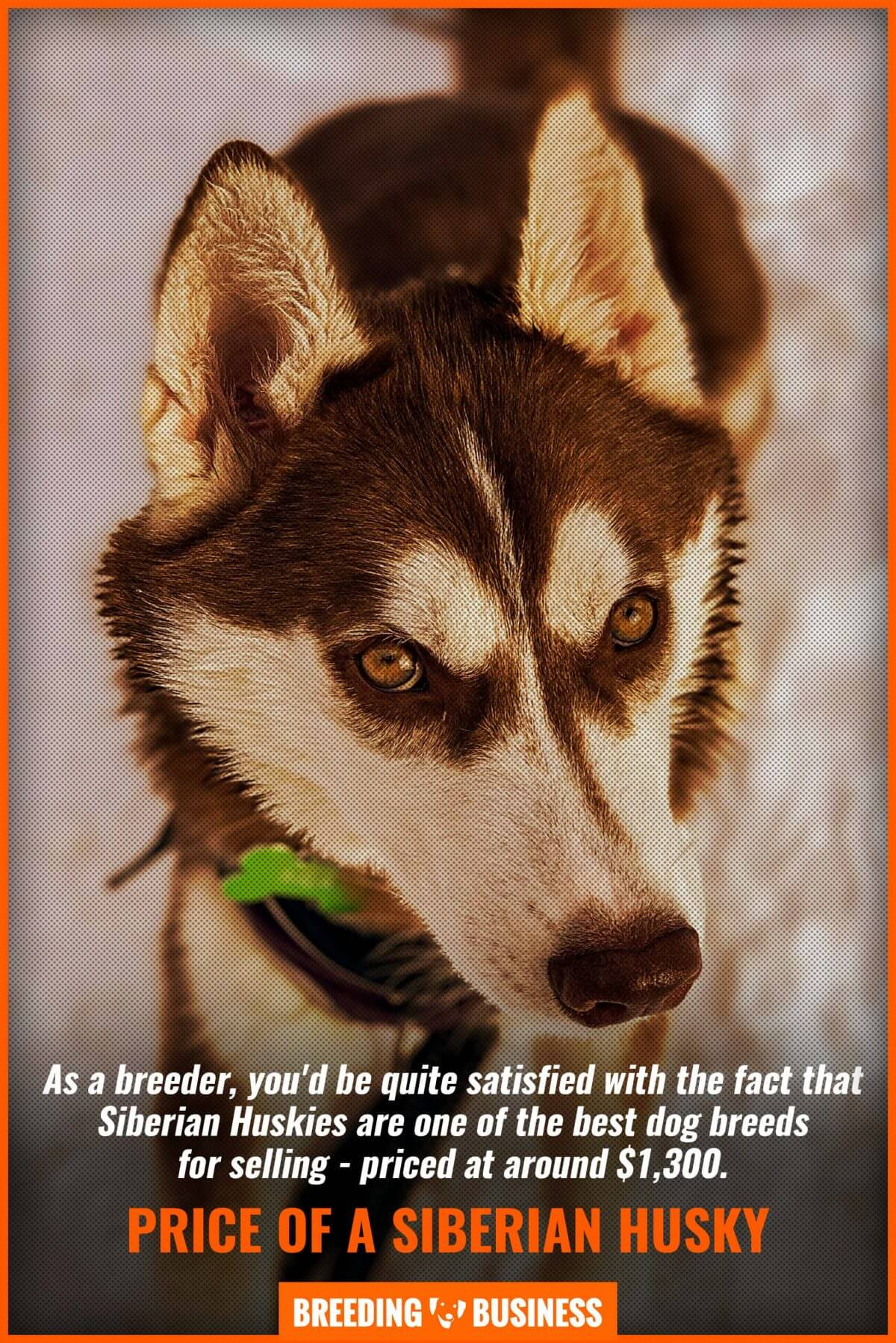 price of a siberian husky
