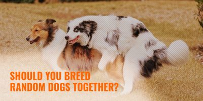benefits and disadvantages of andom dog breeding