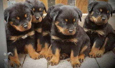 95+ Rottweiler Dog Names – Cool Rottie Names for Tough Puppies!