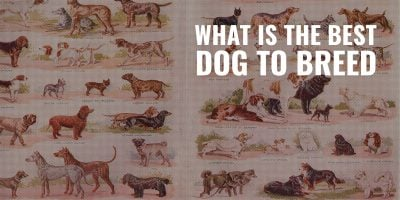 What Is The Best Dog To Breed – Your Favorite, or What the Market Demands?