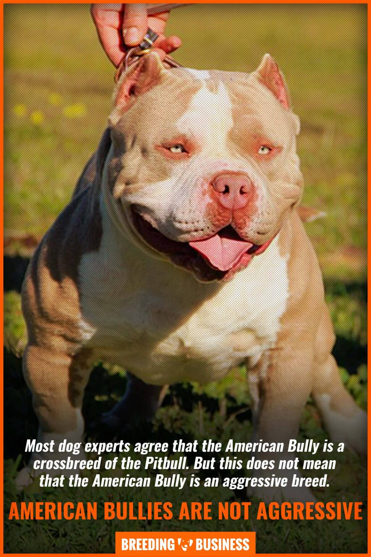 american bullies are not aggressive