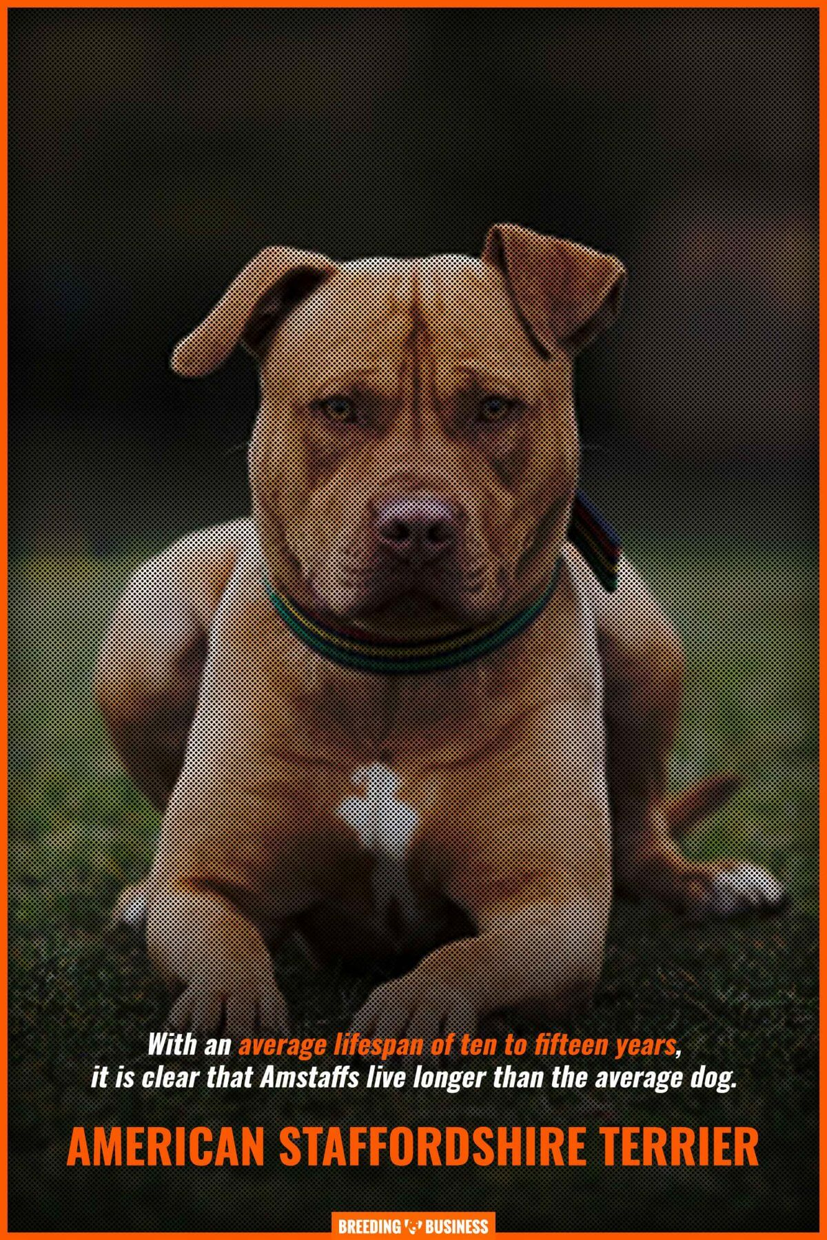 american staffordshire terriers (health and lifespan)
