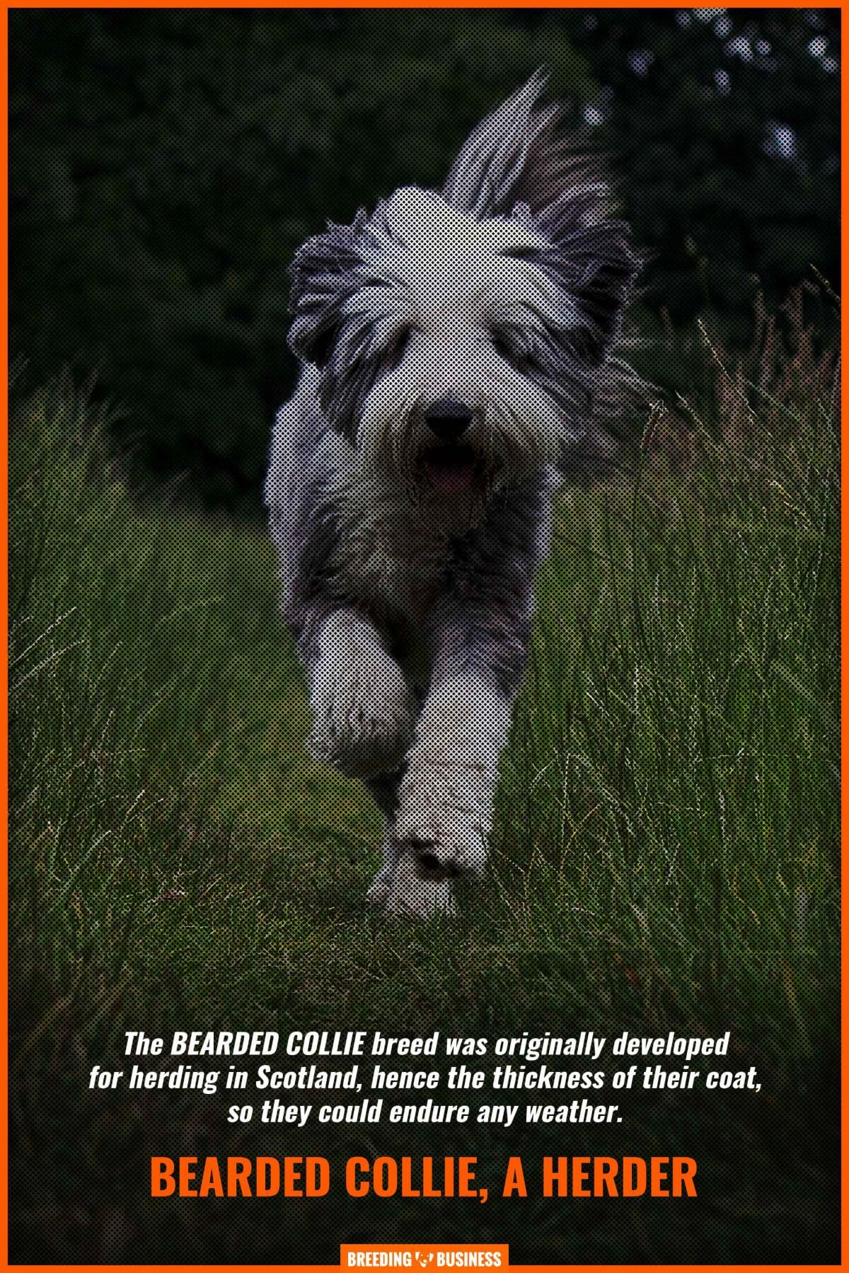 Bearded Collies as herding dogs