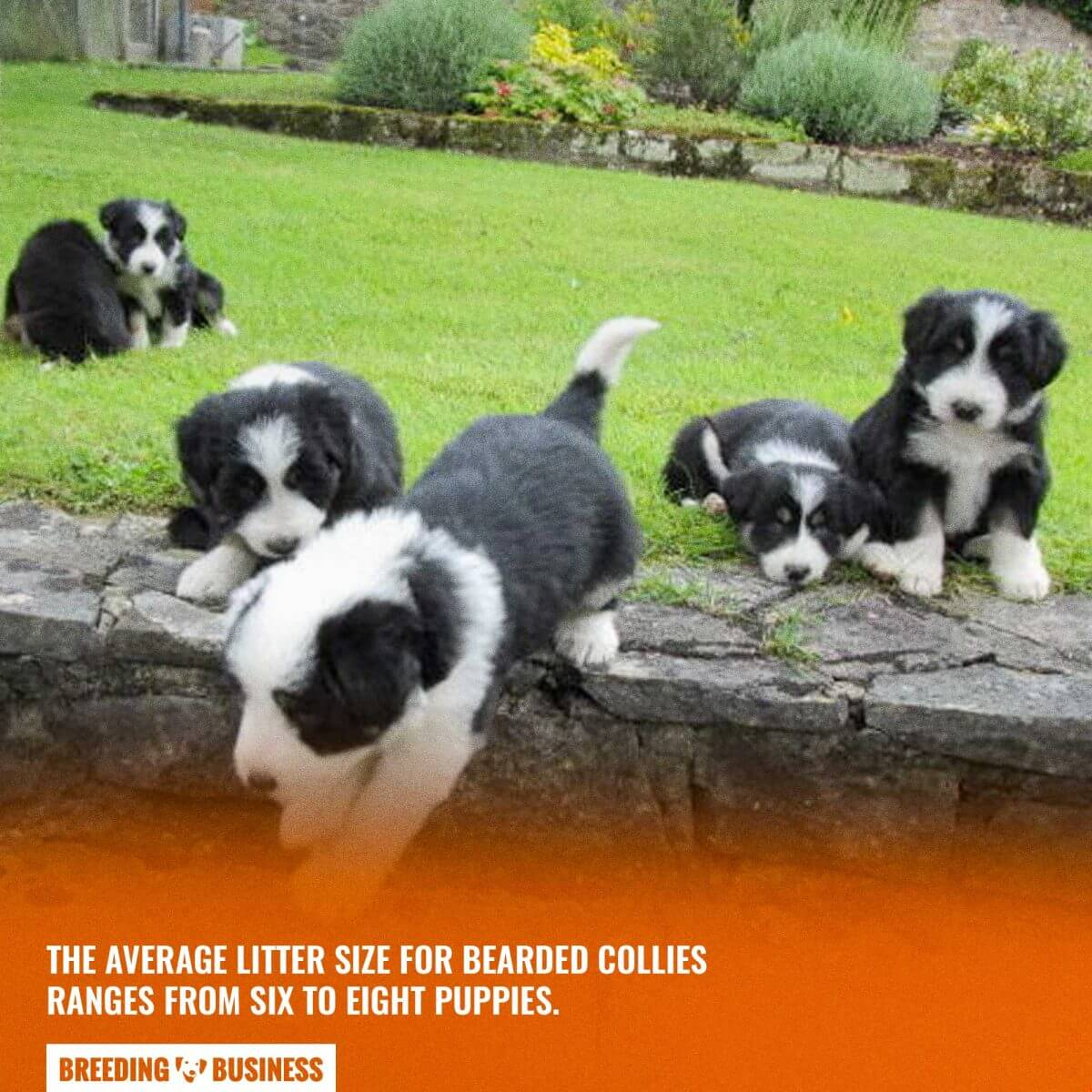 bearded collie puppy count