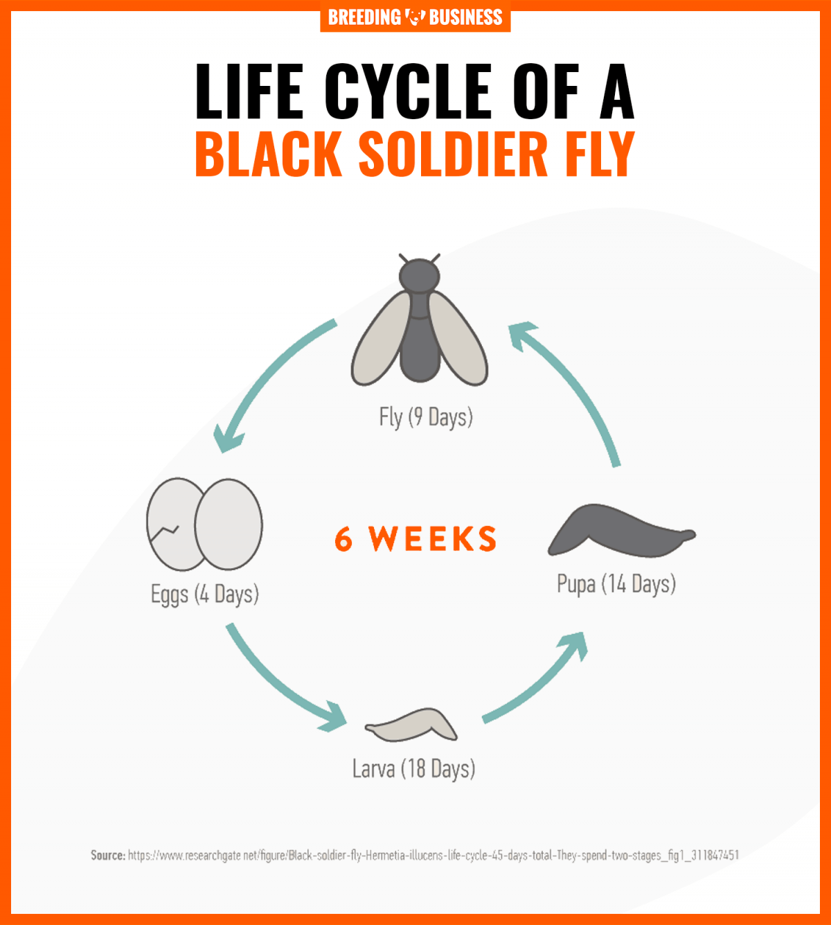 lifecycle of a black soldier fly
