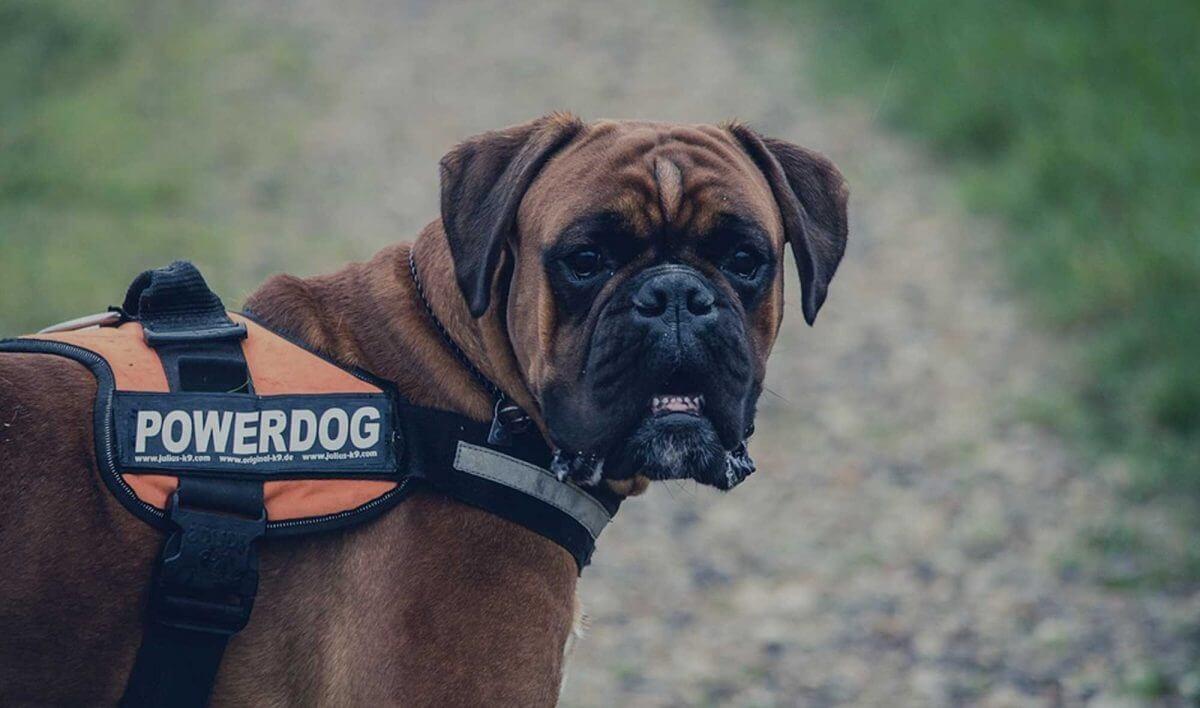 140 Boxer Dog Names Name Ideas For Strong Tough Boxer Pups