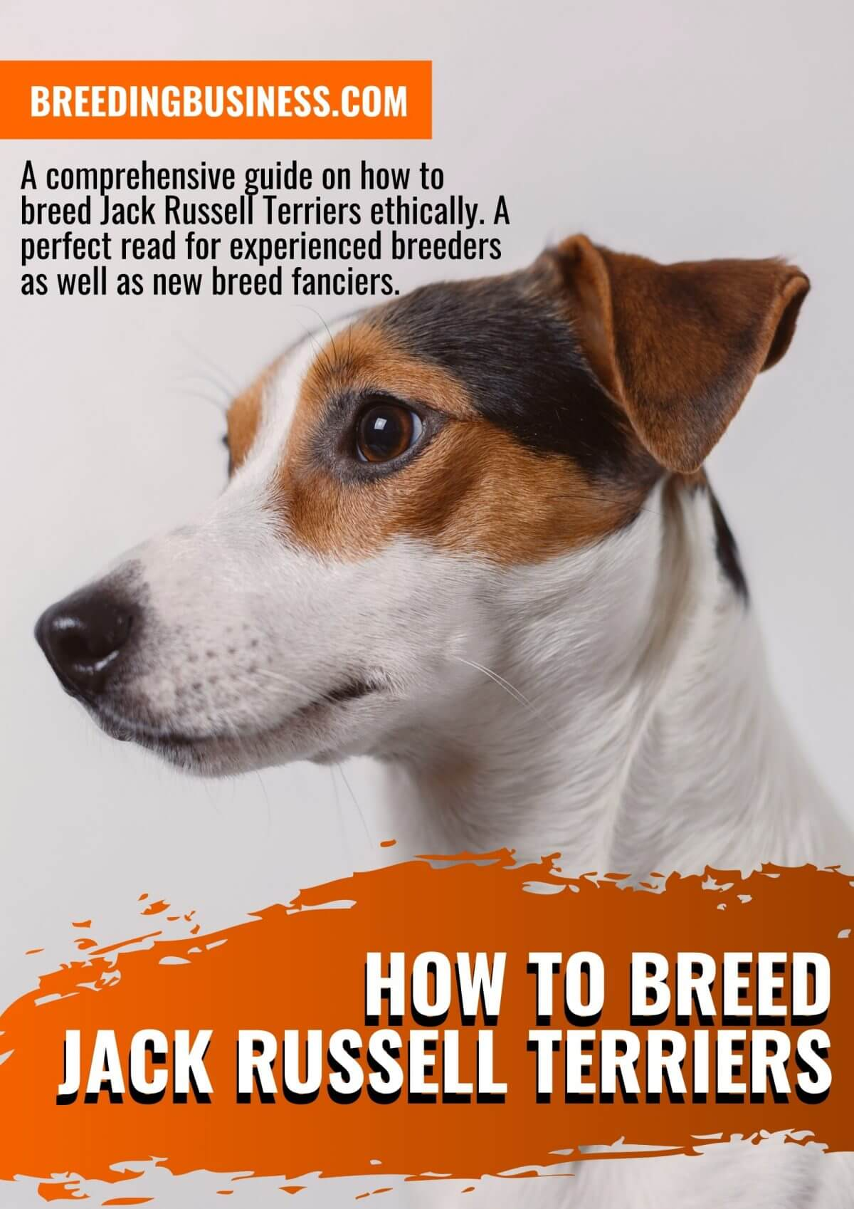 How To Breed Jack Russell Terriers