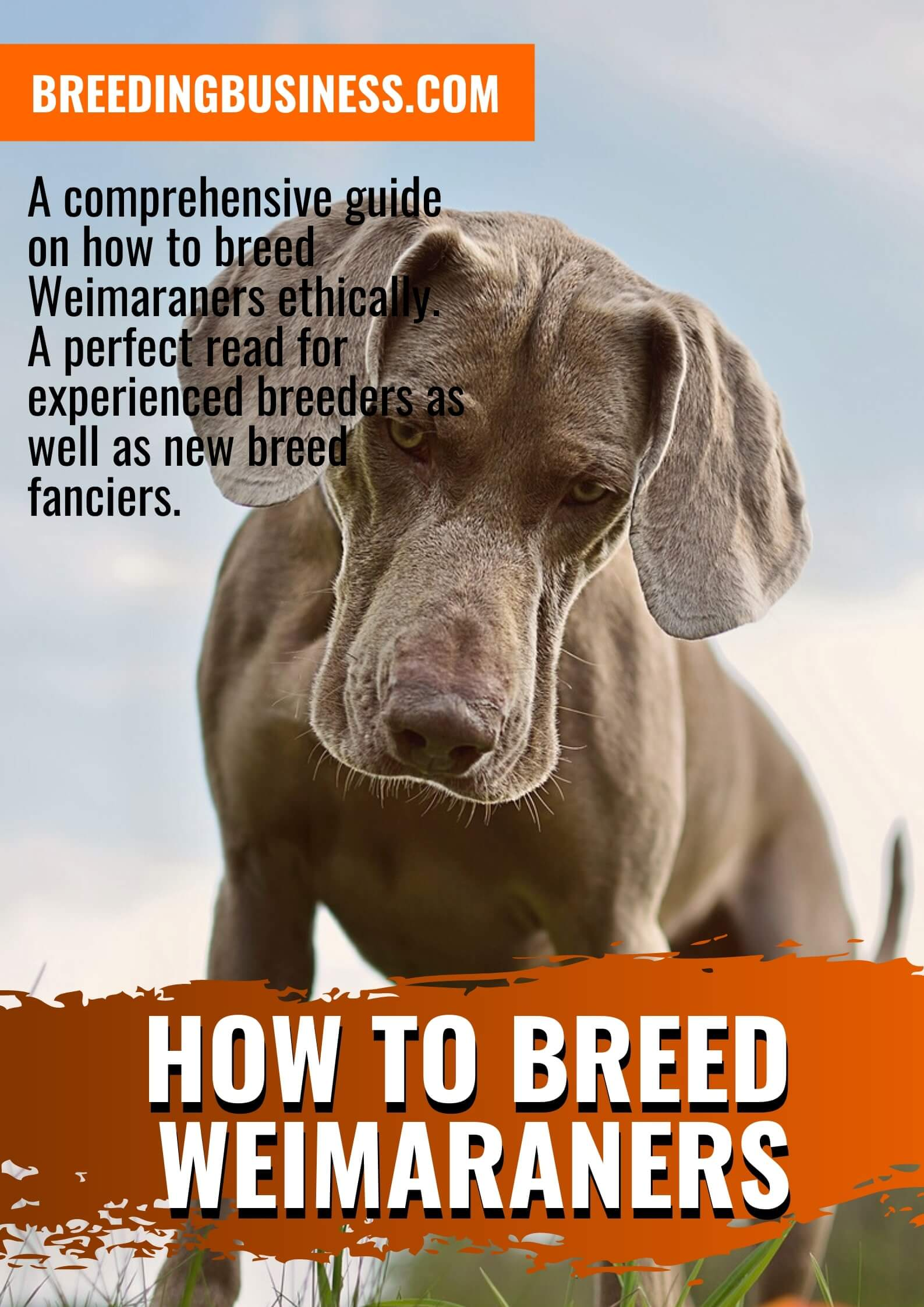 How To Breed Weimaraners