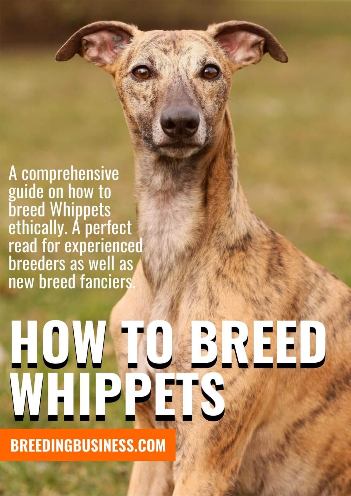 Whippet Breeding Guide!