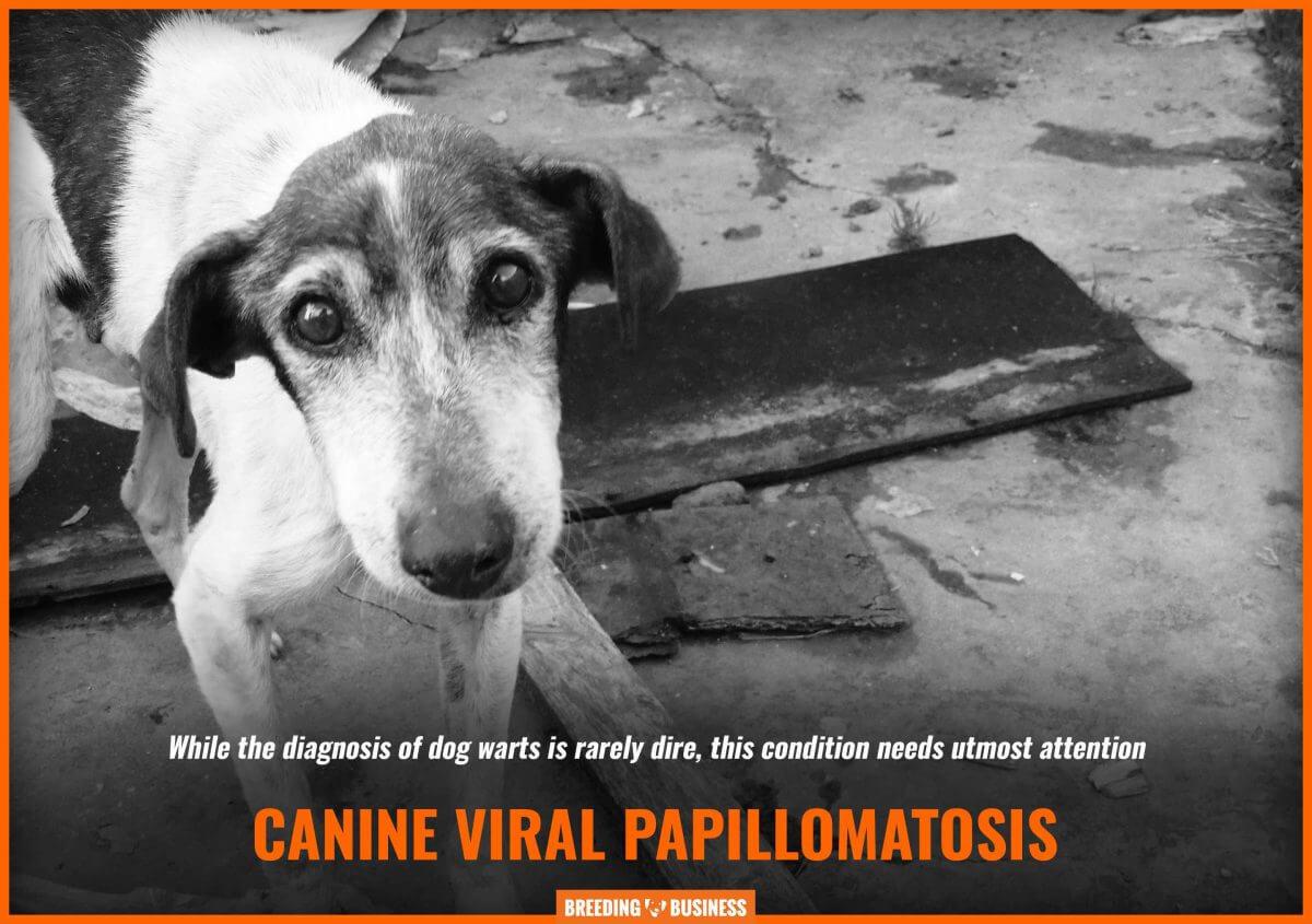 canine papillomavirus warts