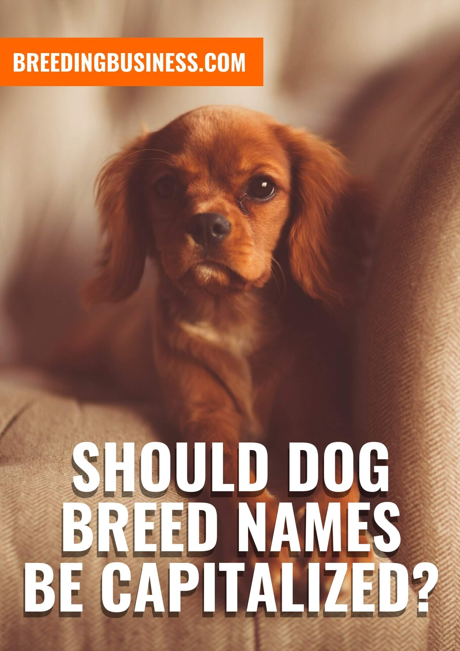The capitalization of dog breeds.