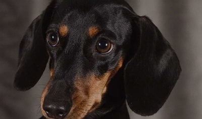 150+ Dachshund Dog Names –  Perfect Puppy Name Ideas for Sausage Dogs