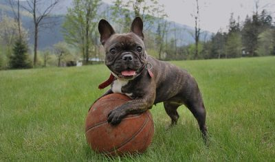 180+ French Bulldog Names – Cool Frenchie Puppy Name Ideas for your Flat-Faced Pooch!