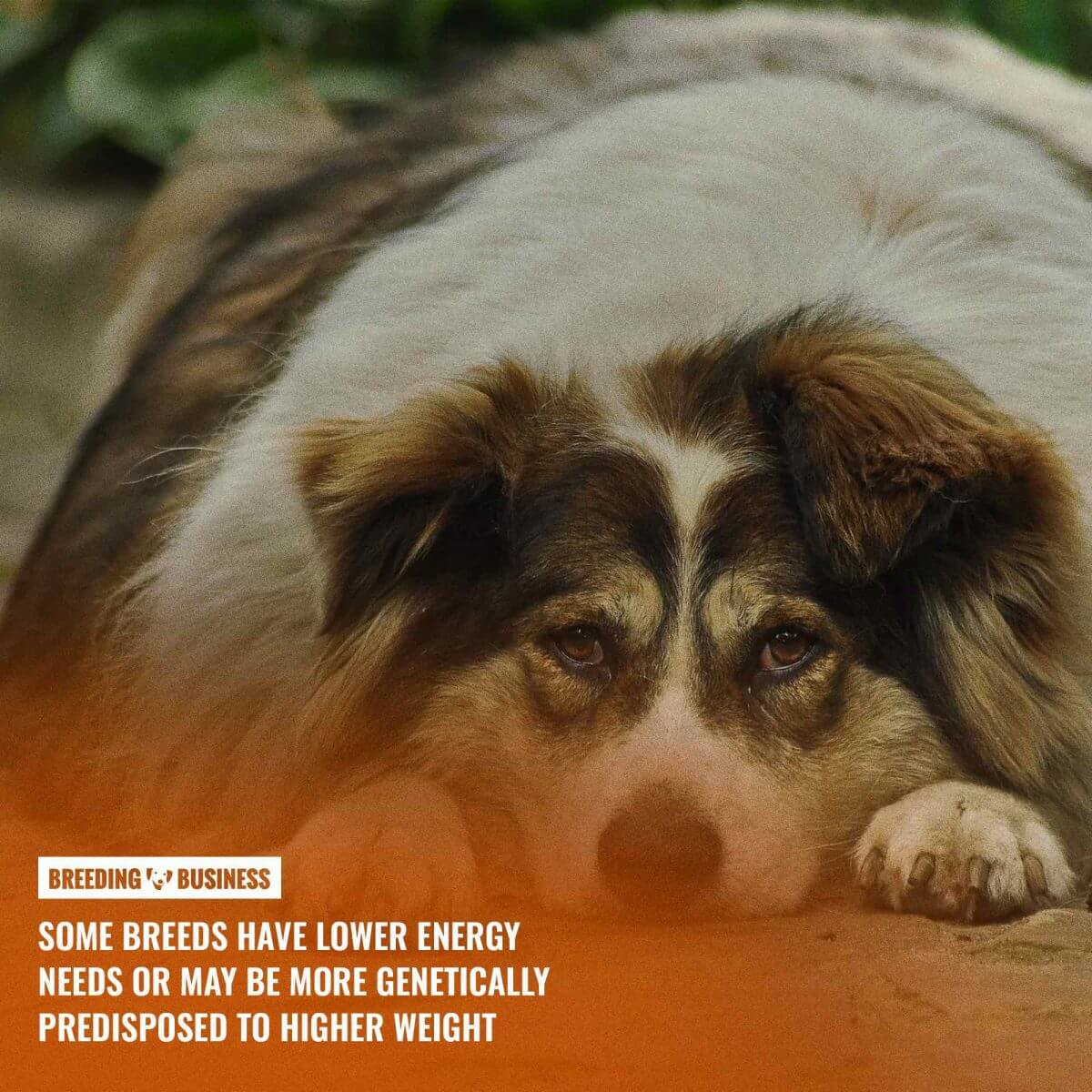 Genetic predisposition to obesity in dogs.