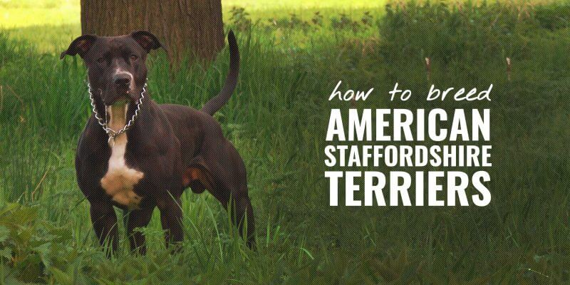 How To Breed American Staffordshire Terriers