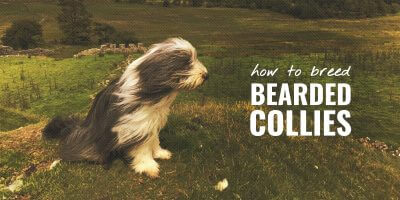 How To Breed Bearded Collies