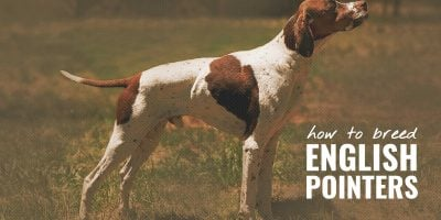How To Breed English Pointers