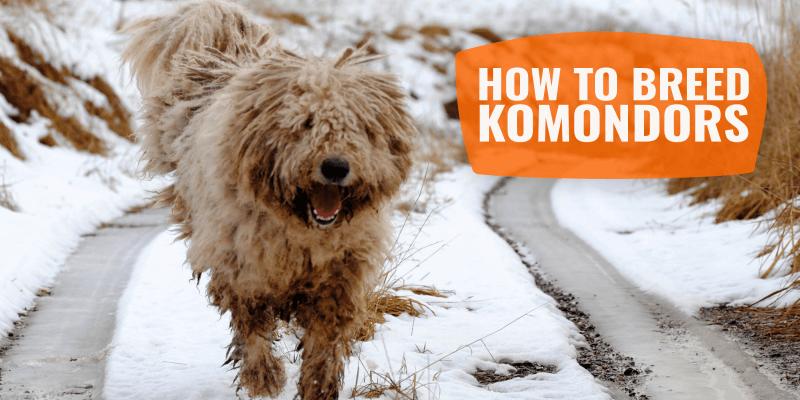 How To Breed Komondors – History, Health Issues & Best Komondor Breeding Practices
