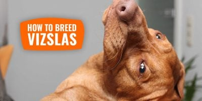 How To Breed Vizslas – History, Health Issues & Best Vizsla Breeding Practices
