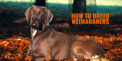 How To Breed Weimaraners – History, Health Issues & Best Weimaraner Breeding Practices