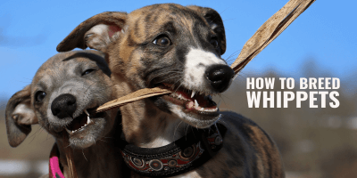 How To Breed Whippets – History, Health Issues & Best Whippet Breeding Practices